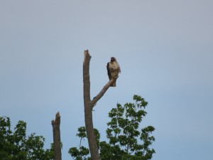 Immature Bald Eagle off Back Neck Rd Facing Forward
