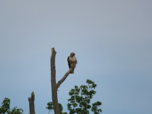 Immature Bald Eagle off Back Neck Rd Profile View