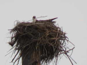 Osprey Adult in Nest