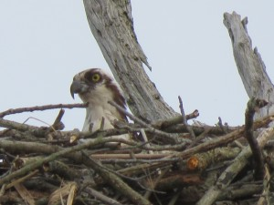 Osprey Chick in Nest Giving Us The Eye