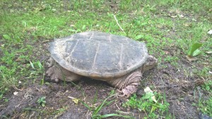 Large Snapping Turtle at Eagle Manor