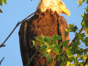 Early Morning Eagles at Eagle Manor